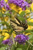 Eastern Tiger Swallowtail Butterfly on Butterfly Bush  Marion Co  Il