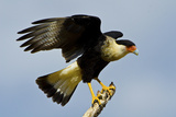 USA  Texas  Mission  Northern Caracara Perched Taking Off from Snag