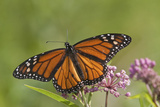 Monarch Butterfly Male on Swamp Milkweed Marion Co  Il