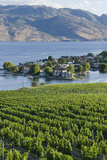Vineyard and Okanagan Lake at Quails' Gate Winery  Kelowna  Bc  Canada