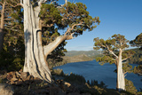 Juniper Trees Above Echo Lake  Sierra Nevada Mountains
