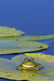 Edible Frog in the Danube Delta Sitting on Leaf of Water Lily  Romania