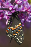 Black Swallowtail Newly Emerged on Eastern Redbud  Marion County  Il