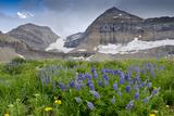 Lupine  Lupinus  Mount Timpanogos Uinta-Wasatch-Cache Nf