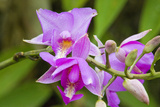Wild Orchid  Cloud Forest  Upper Madre De Dios River  Peru