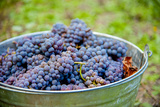 USA  Washington  Klickitat Cab Franc Grapes at Harvest