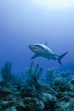 Caribbean Reef Shark  Jardines De La Reina National Park