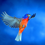 North America  USA  Florida  Immokalee  Male Painted Bunting Flying