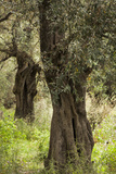 Greece  Thessaly  Ano Gatzea  Pelion Peninsula  Olive Grove