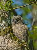 Juvenile Great Horned Owl  Ridgefield Nwr  Ridgefield  Washington  Usa
