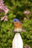 Eastern Bluebird on Picket Fence  Marion  Illinois  Usa