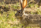 Jackrabbit in Big Bend National Park  Texas  Usa