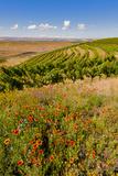 USA  Washington  Walla WallaWildflowers in a Vineyard in Wine Country