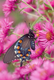 Pipevine Swallowtail on New England Aster  Marion Co Il