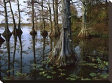 Bald Cypress at upper Blue Basin  Reelfoot National Wildlife Refuge  Tennessee
