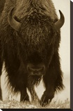 American Bison portrait in snow  North America