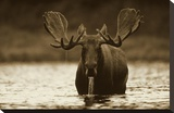 Moose male raising its head while feeding on the bottom of a lake  North America