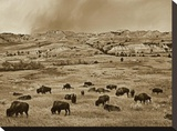 American Bison herd grazing on shortgrass prairie  Theodore Roosevelt National Park  North Dakota