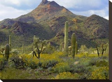 Saguaro and Teddybear Cholla amid flowering Lupine and California Brittlebush