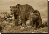 Grizzly Bear mother with a one year old cub  North America