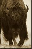 American Bison portrait in snow  North America