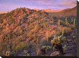 Panther and Safford Peaks covered with Saguaro and Teddybear Cholla  Saguaro National Park  Arizona