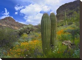 Saguaro amid flowering Lupine  Organ Pipe Cactus National Monument  Arizona