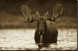 Moose male raising its head while feeding on the bottom of a lake  North America