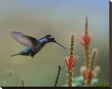 Magnificent Hummingbird male foraging  Costa Rica
