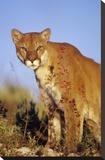 Mountain Lion or Cougar portrait  North America