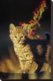 Bobcat kitten standing on log  North America