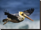 Brown Pelican flying  North America