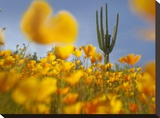 Saguaro cactus and California Poppy field at Gonzales Pass  Tonto National Forest  Arizona