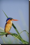 Malachite Kingfisher perching on reeds  Kenya