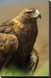 Golden Eagle portrait  North America