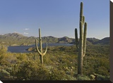 Saguaro cactus at Bartlett Lake  Arizona