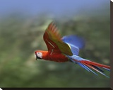 Scarlet Macaw flying  Costa Rica