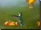 Green-crowned Woodnymph female landing  Ecuador
