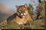 Mountain Lion portrait  North America
