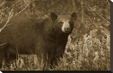 Black Bear portrait  North America