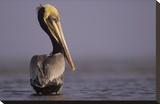 Brown Pelican adult portrait  Texas