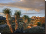 Yucca and Organ Mountains near Las Cruces  New Mexico