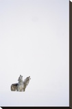 Timber Wolf pair howling in snow  North America