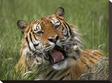 Siberian Tiger yawning  endangered  native to Siberia