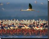 Lesser Flamingo flying over flock  Lake Nakuru  Kenya