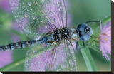 Southern Hawker Dragonfly close-up  on stem  New Mexico