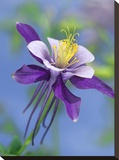Colorado Blue Columbine close up of bloom  North America