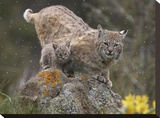 Bobcat mother and kitten in snowfall  North America