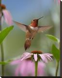 Rufous Hummingbird male feeding on flower nectar