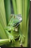Green Iguana portrait  Honduras  Central America